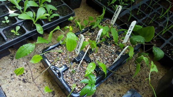 размножение клематиса из семян