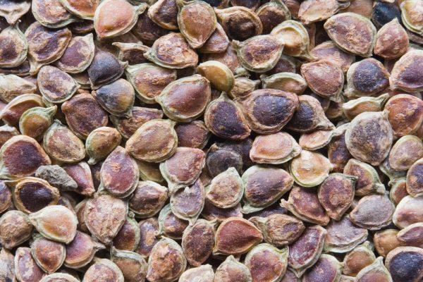 Семена лютика