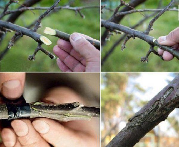 привика яблони копулировкой