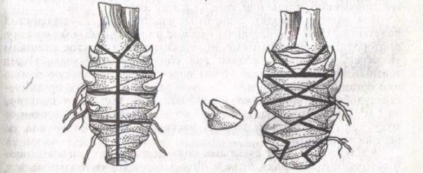 Размножение ирисов почками