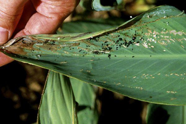 Лист канны, поражённый насекомыми