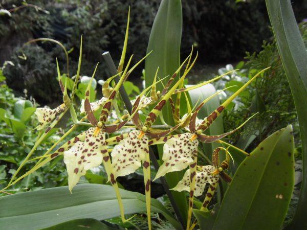 Паучья орхидея