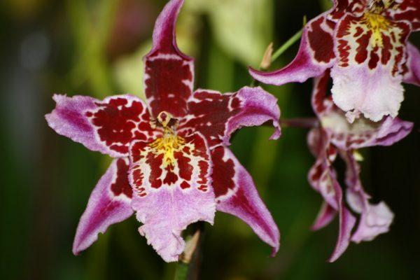 Цветок одонтоглоссума
