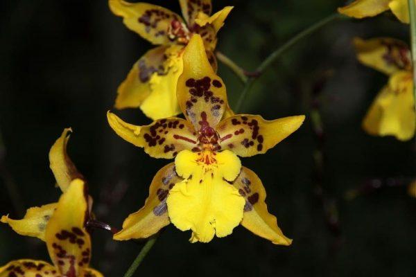 Жёлтый одонтоглоссум