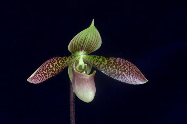 Красивый цветок пафиопедилума
