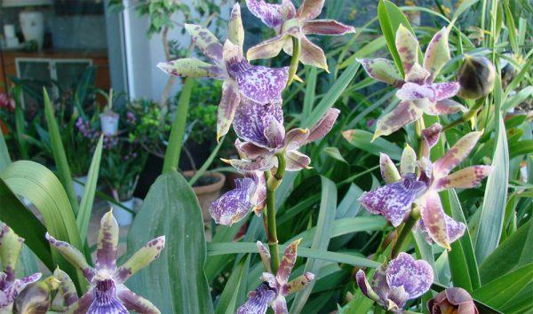 Необычные цветы зигопеталума