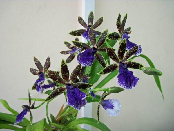 Редкое растение зигопеталум