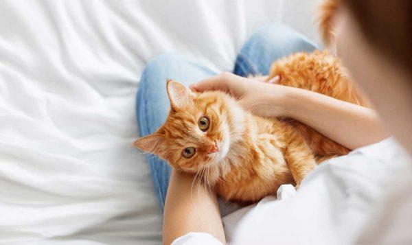 Кошка лежит на коленях у человека
