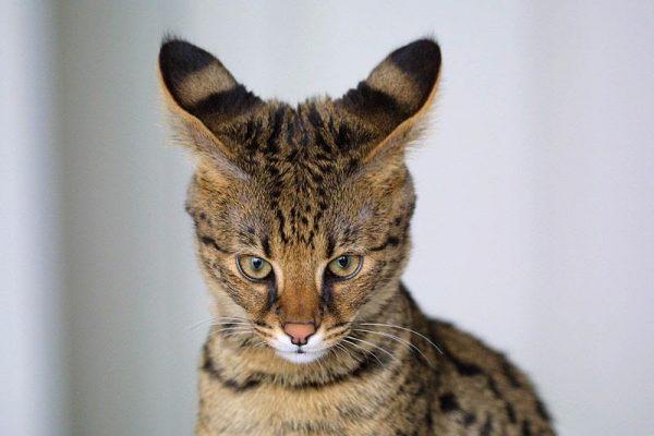 Кот с навостренными ушами