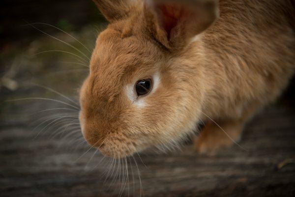 Пушистый рыжий кролик