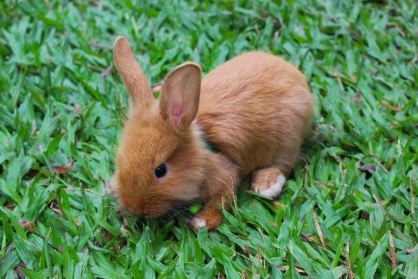 Рыжий кролик на прогулке