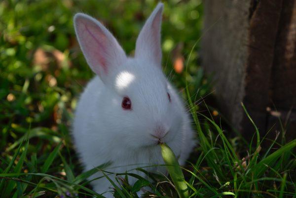 Белоснежный кролик кушает травку
