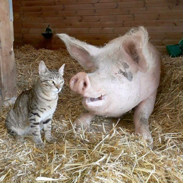 свинья и кошка