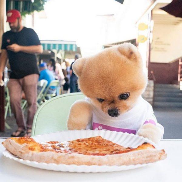шпиц и пицца