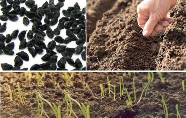 посадка лука-батуна, семена