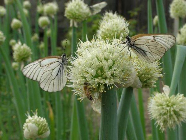 цветочный стебель лука-батуна