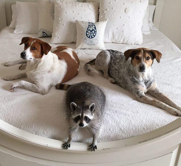 Енот Тыковка с собаками
