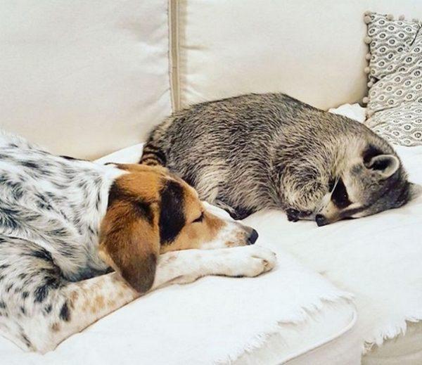 Енот Тыковка с собакой
