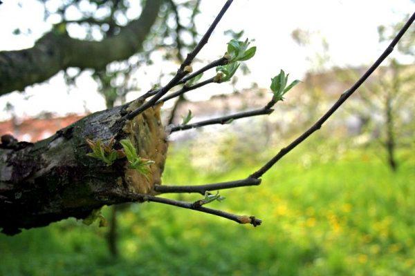 привитая яблоня весной