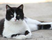 кошка черно-белая