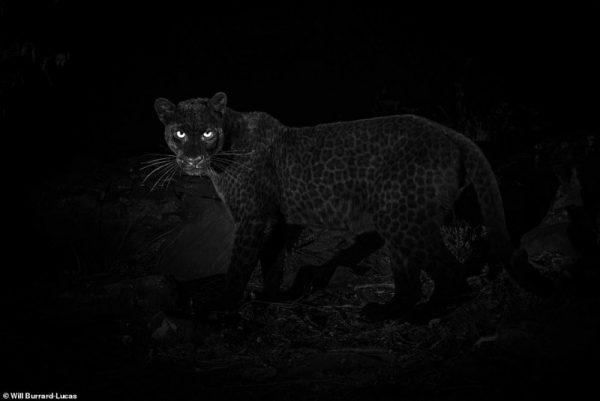 Чёрный леопард