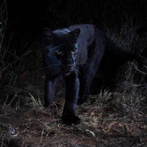 черный леопард африка