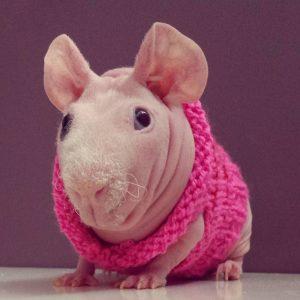 свинка в свитере морская