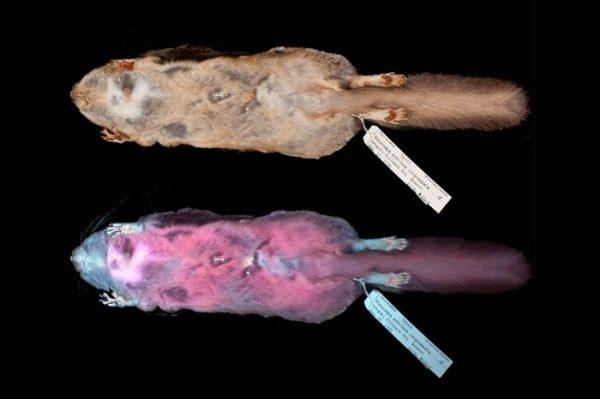 Останки светящейся белки-летяги из музея