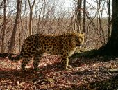 леопард тайга
