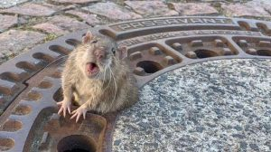 крыса в люке