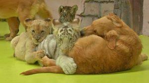 львенок тигрята гиены собака в пекине