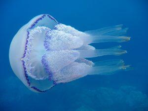 медузы корнероты