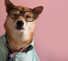 Сиба-ину Боди — популярная собака в человеческой одежде