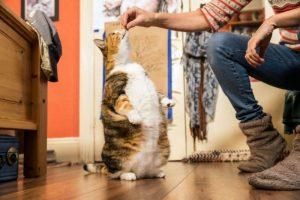 перекормленная кошка стала стройной
