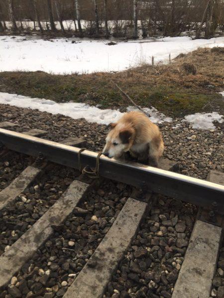 Собаку привязали к рельсам