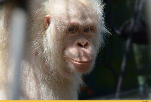 орангутан альбинос