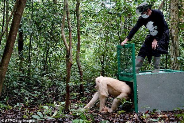 Орангутана-альбиноса Альбу выпускают на волю