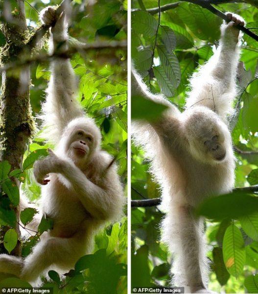 Орангутан-альбинос Альба