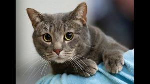 серая кошка с большим животом