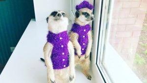 Популярные животные в «Инстаграме»: домашние сурикаты из Перми