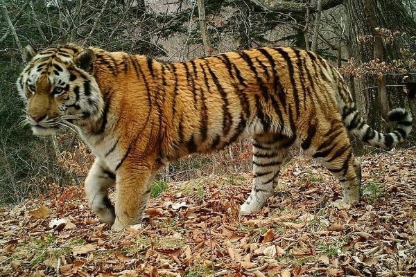 Тигр Тихон