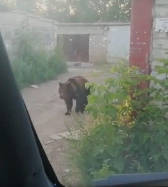 Сбежавшая медведица