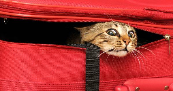 Кошка высунула голову из чемодана