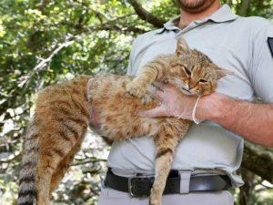 «Кошка-лиса» – во Франции обнаружили новый вид животных