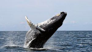 японский кит