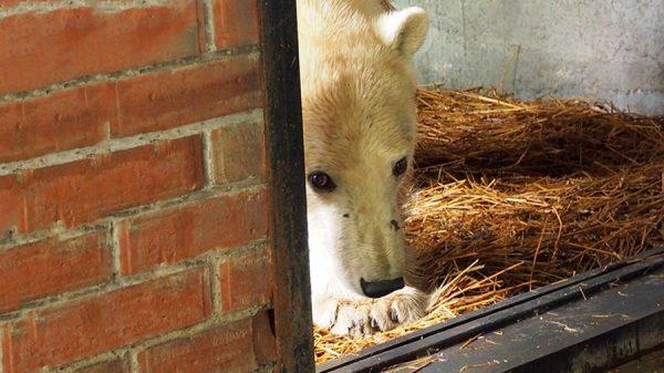 Белая медведица в зоопарке