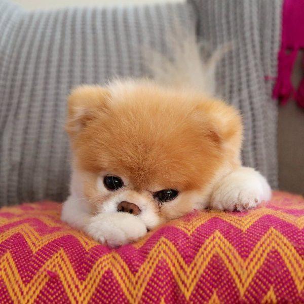 Популярная собака Бу