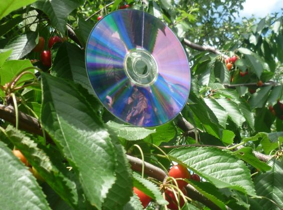 Музыкальный диск на ветке черешни
