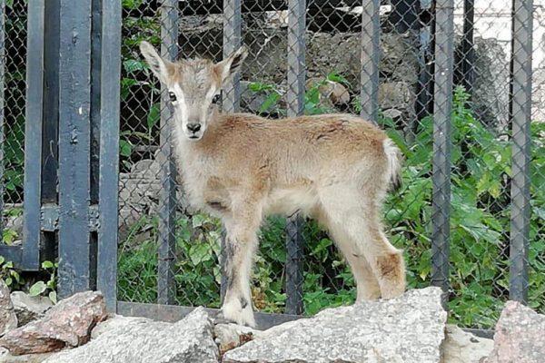Детёныш голубого барана родился в Московском зоопарке