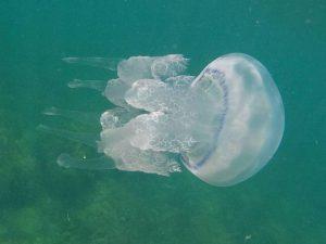 медуза-корнерот